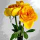 Captured Yellow Roses